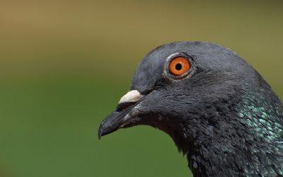 Patrick Süskind : Le Pigeon